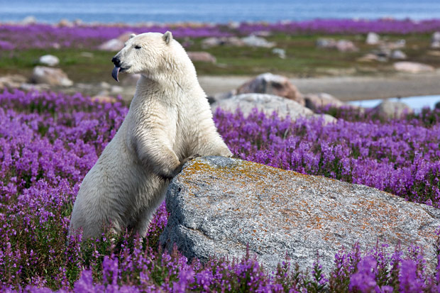 polar-bear-flowers_1898544i